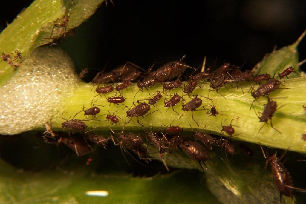 Aphid tree sucker infestation