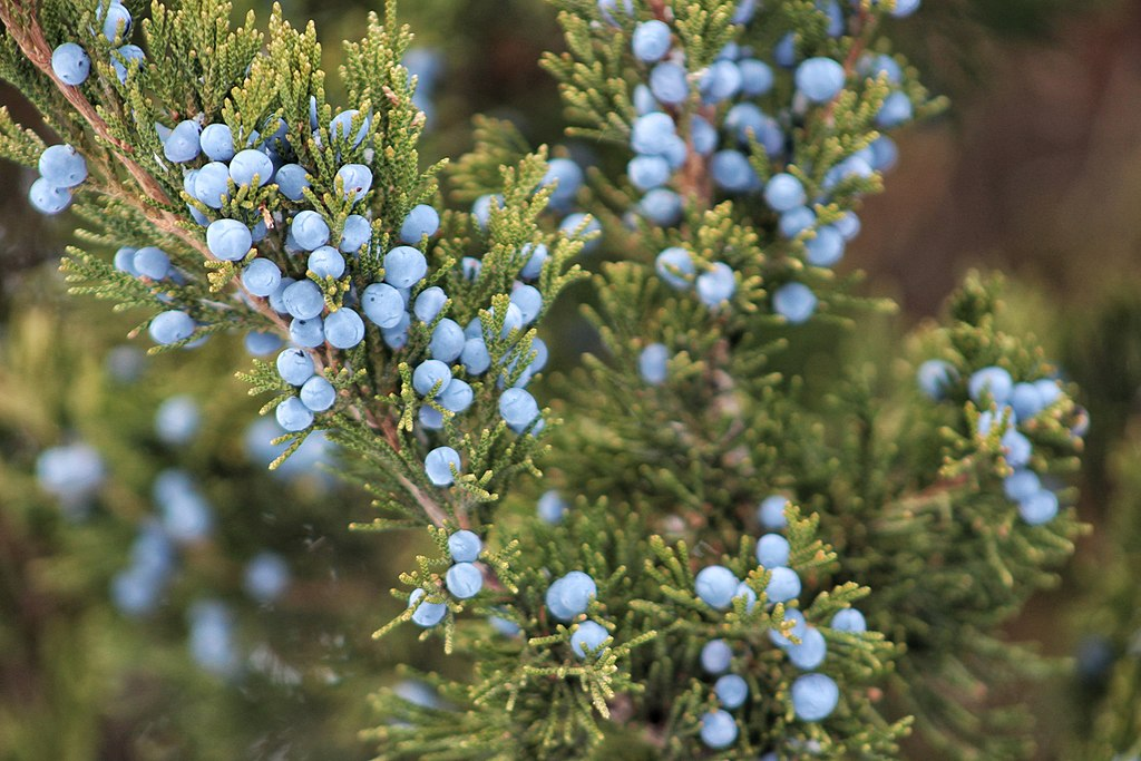 Colorful Juniper Berries