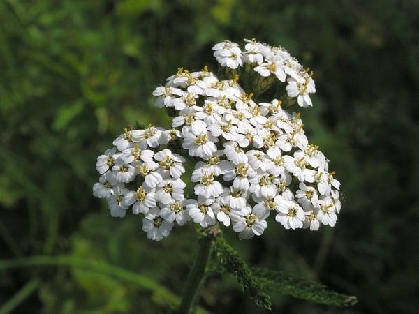 Western Yarrow - Idaho Native Plant