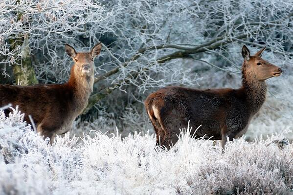 deer eating shrubs in winter