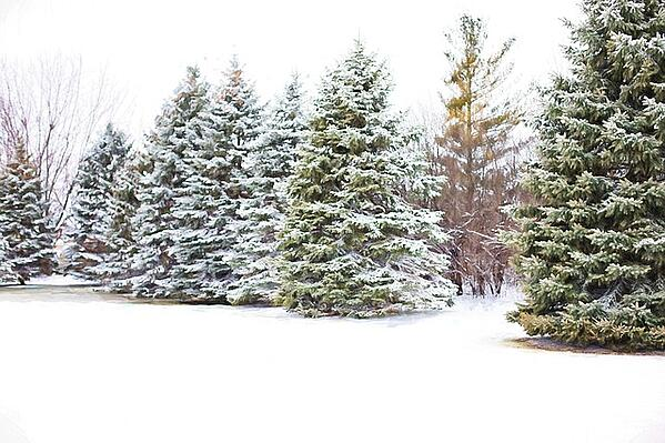 protecting evergreens in winter